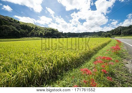 Lined red spider lily flowers side of rice field under sky