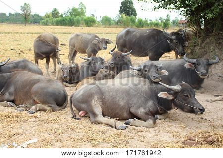 Many black buffalo chewing sleep and rest.