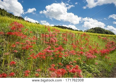 Red spider lily flower community blooming on slope under sky