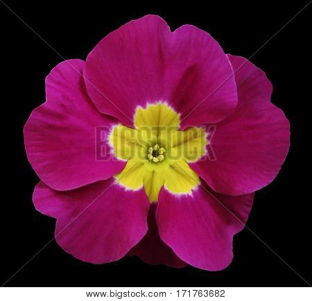 pink violets flower black isolated background with clipping path. Closeup. no shadows. For design. Nature.