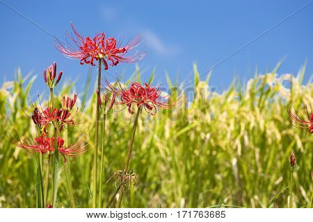 Red spider lily flower in front of lined rice ears under blue sky