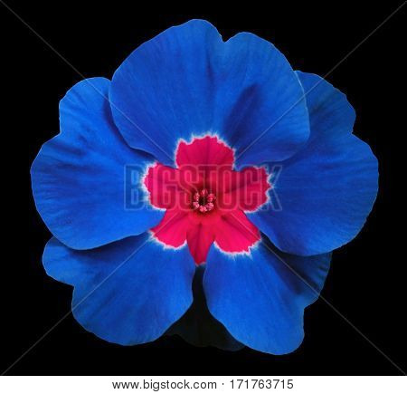 blueviolets flower black isolated background with clipping path. Closeup. no shadows. For design. Nature.