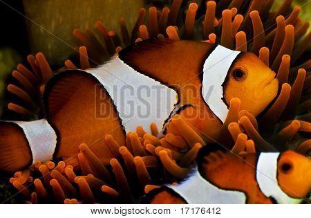 Orange Clown Fish in Anemone, Underwater in Micronesia