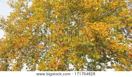 Sycamore tree,Yellow leaves of autumn,The bough landscape,Beautiful autumn