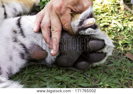 bengal tiger paw nails animal foot mammal