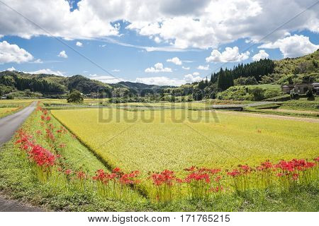 Lined red spider lily flowers blooming at countryside in Kagoshima