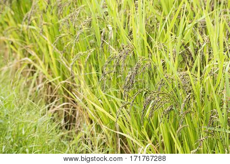 Ripe ancient rice of paddy field in autumn