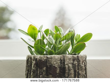 Succulent plant sitting on a window sill in the cloudy daylight. Plant is in a tree-bark-style planter container.