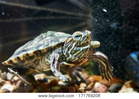 Red-eared Turtle Have Dry Feed