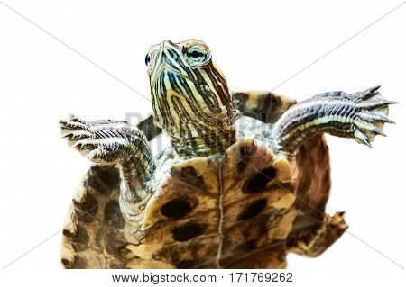Small red-eared turtle in aquarium isolated white