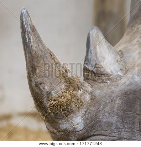 Rhino With Horn Close Up