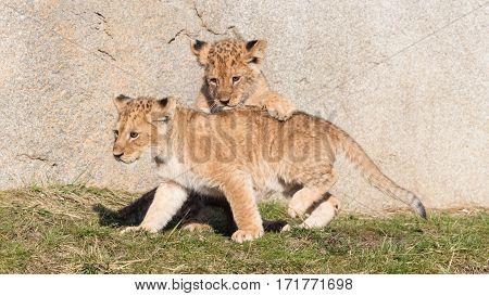 Lion Cubs Exploring It's Surroundings