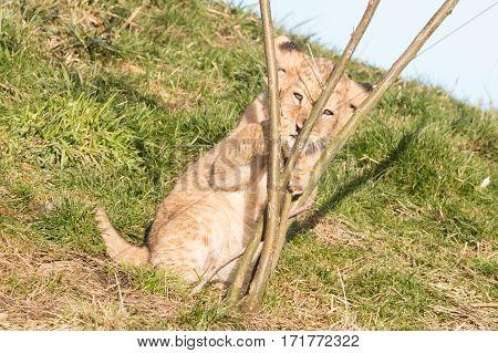 Lion Cub Exploring It's Surroundings