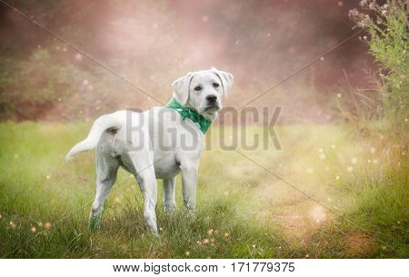young labrador retriever dog puppy stands on a meadow during spring