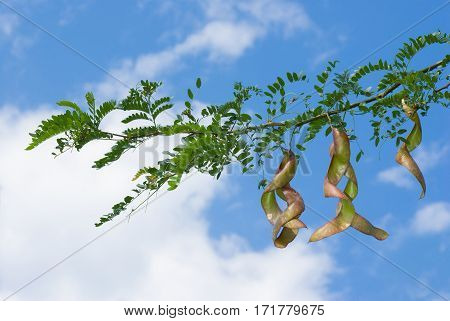 Branch of acacia with pods at summer time.