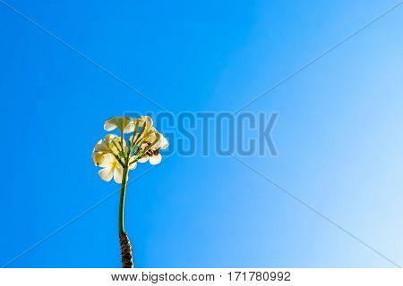 Frangipani tree under the clear blue sky
