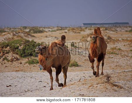 Camels In Semi-desert Nearly Baia De Zaburunie At Caspian Sea
