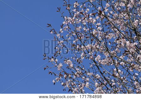 Sakura branches with flowers against blue sky