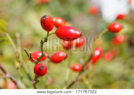 Ripe Rose Hips ( Rosa canina ) in Late Summer