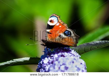 Beautiful butterfly with colorful wings sitting on a branch of a Bush covered with blossoms.