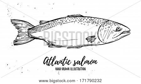Hand Drawn Vector Illustration - Fish. Atlantic Salmon. Perfect For Restaurant Brochure, Cafe Flyer,