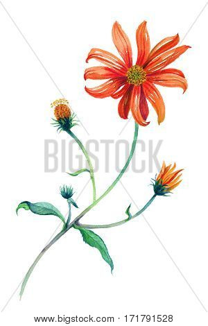 Watercolor red daisies branch with leaves. Hand drawn illustration. Isolated on white background. Painting. Realism.