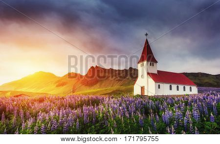 Lutheran church in Vik. The picturesque landscapes of forests and mountains. Wild blue lupine blooming in summer. Orange sunset in Iceland.