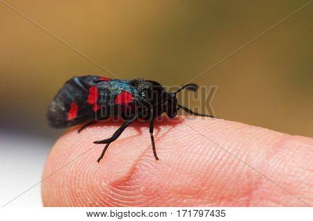 Five Spot Burnet Moth Set On A Human Finger - Zygaena Trifolii