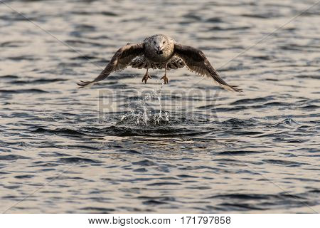 Juvenile herring gull (Larus argentatus) taking flight. Large bird in family Laridae taking to air after picking object from surface of lake showing force acting on wings