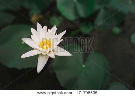 Beautiful white lotus, White flower. Lotus flower of Buddha.