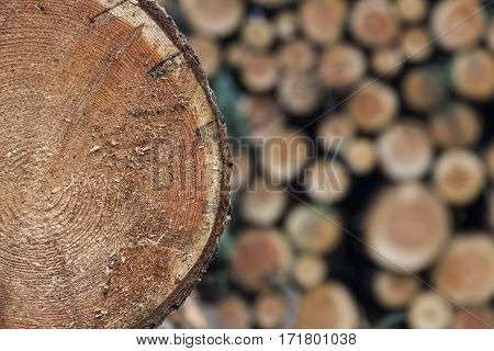 pile of small freshly cut trunks of spruce tree wood with one piece closeup