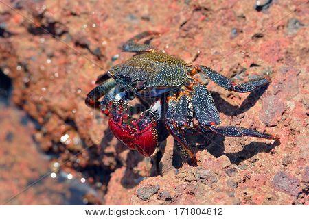 Big red crab on stone at seashore
