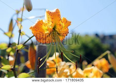 Smuk orange blomst på en dejlig sommer dag i juli
