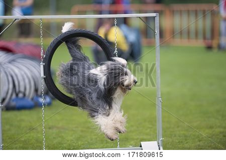 Purebred dog Bearded Collie jumping in good form in agility competition. He is landing on grass and looking for a next command from his owner. He is very attentive ready to play and have fun. There is also enough place for some text or quote on photograph