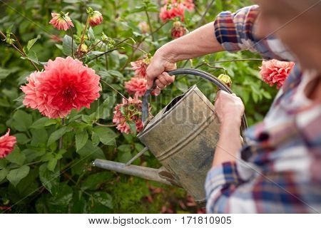 farming, gardening and people concept - senior woman with watering can and dahlia flowers blooming at summer garden