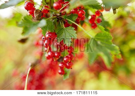 nature, botany, gardening and flora concept - red currant berries at summer garden