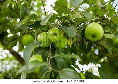 nature, botany, gardening and flora concept - close up of apple tree branch