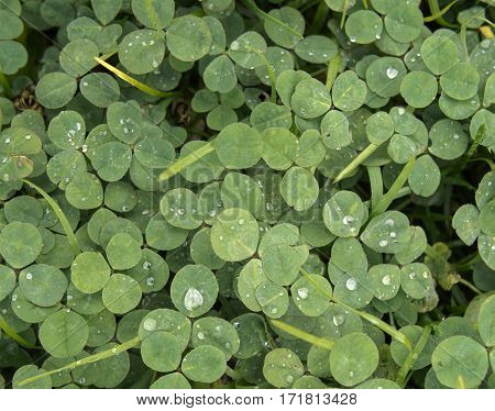 Green clover trefoil shamrock trifolium backdrop background wallpaper, natural with rain drops