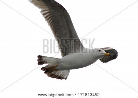 seagull, bird ,remex 	,bird wing, deli ,flying bird fly