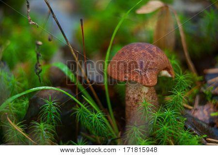 Beautiful Cap Boletus Growing In Forest