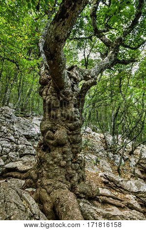 cedar tree trunk green forest, Crimea, Russia