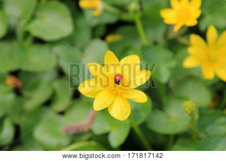 Red ladybug sitting on a yellow buttercup