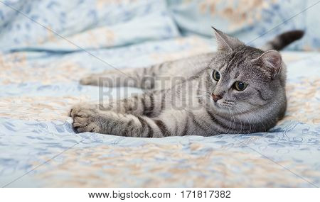 Grey cat lying on bed, tired kitten over blur background, dreaming cat, kitten, cat