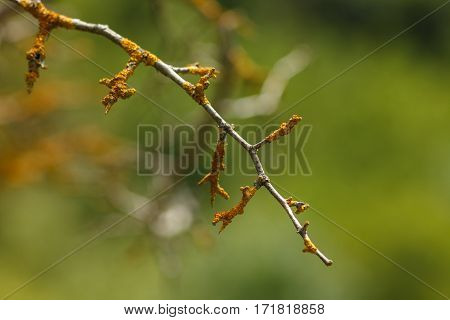 Branch with yellow lichen on a blurred background