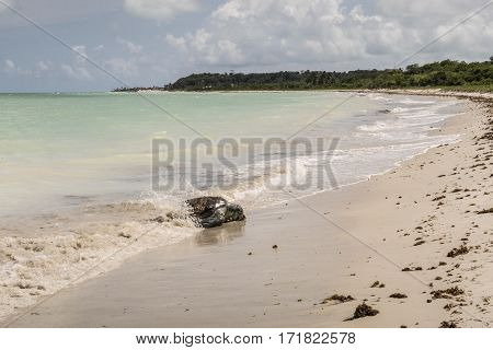 Tortoise Stranded At The Beach At Ponta Preta In The Island Of Capo Verde In Brazil