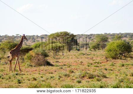 Giraffe in the savanna of East Tsavo Park in Kenya