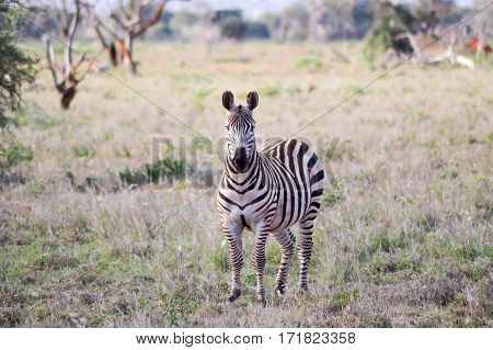 Zebra with an interrogative look isolated in the savanna of the Tsavo West park in Kenya