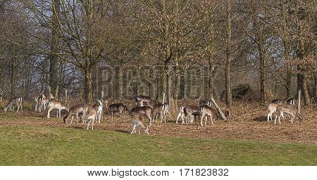 photo of a small herd of fallow deer grazing