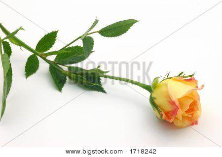 Single Rose Bud