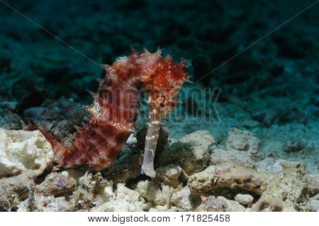 Sea horse is sitting on sandy bottom, Panglao, Philippines